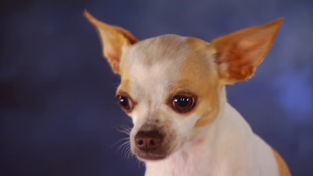 Cu Smooth Coat Chihuahua Sitting In Front Of Backdrop United