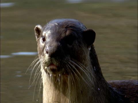 vídeos y material grabado en eventos de stock de smooth coated otter (lutrogale perspicillata) looks around and dives in river, india - salir del agua