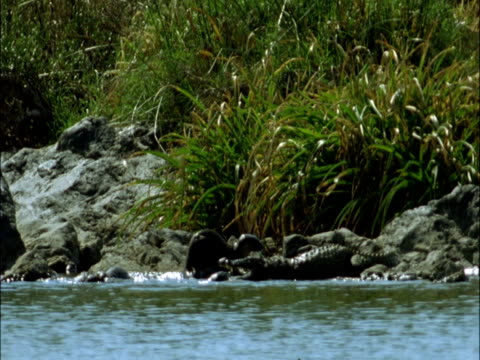 smooth coated otters (lutrogale perspicillata) harass mugger crocodile, india - カワウソ点の映像素材/bロール