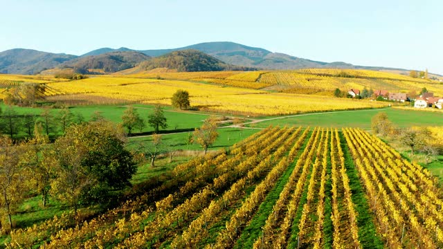 vidéos et rushes de a smooth flight over autumn vineyards in alsace. - jaune