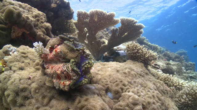 smooth giant clam (tridacna derasa) on healthy coral reef, meemu atoll, the maldives - mollusc stock videos & royalty-free footage
