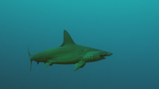 smooth hammerhead shark underwater / mozambique channel, mozambique, africa - one animal stock videos & royalty-free footage