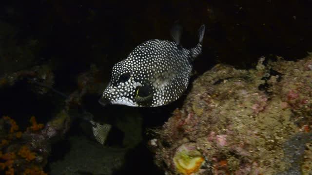 smooth trunkfish. - dykarperspektiv bildbanksvideor och videomaterial från bakom kulisserna