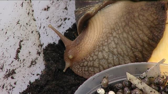 vidéos et rushes de snail breeding - mollusque