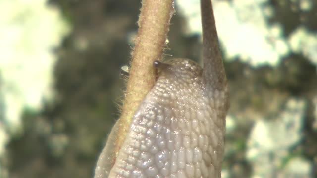 Snail Climbing Up A Branch