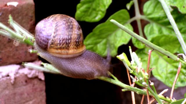 vídeos de stock, filmes e b-roll de cu t/l snail crawling on branch - gastrópode