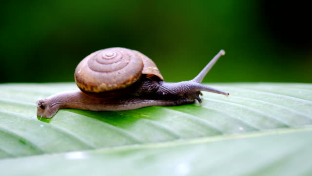 snail crawling on leaf - snail stock videos & royalty-free footage
