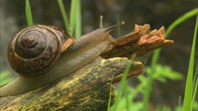 cu snail crawling on log / visby, nã¤r, ljugarn, gotland, sweden - chiocciola gasteropode video stock e b–roll