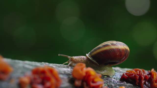 vídeos de stock, filmes e b-roll de a snail crawling on tree branch in 'gotjawal' forest / jeju-si, jeju-do, south korea - gastrópode
