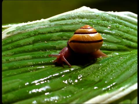 vídeos de stock, filmes e b-roll de a snail crawls across a wet leaf. - gastrópode