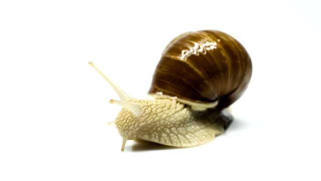 Snail - Helix