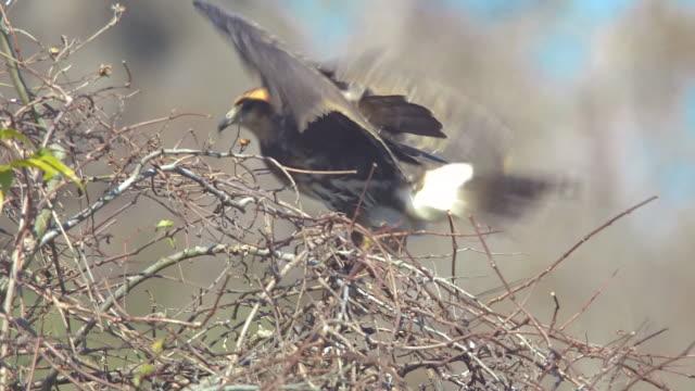 snail kite landing on bush and eating apple snail - mollusk stock videos & royalty-free footage