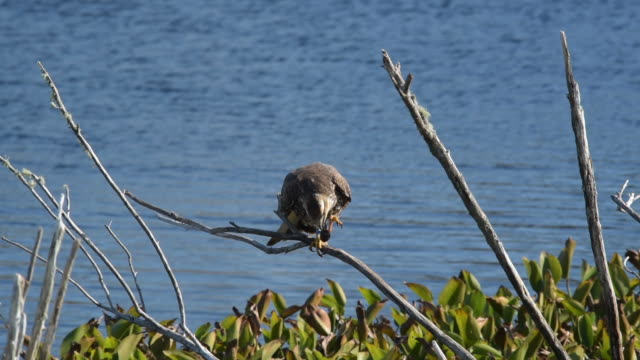 snail kite on perch, gripping caught apple snail while eating mollusk - mollusk stock videos & royalty-free footage