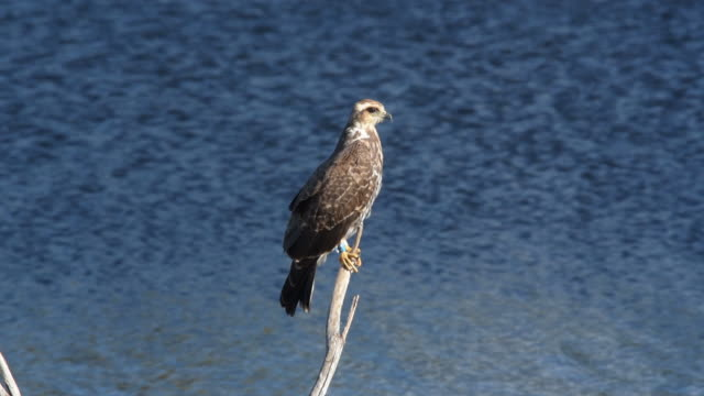 snail kite perched on stick and looking around before flying off - florida us state stock videos & royalty-free footage