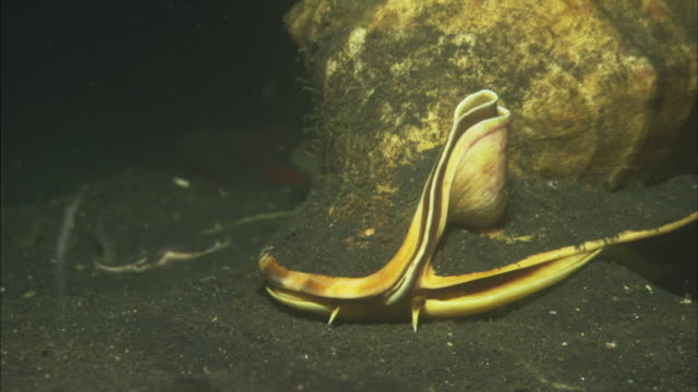 vídeos de stock, filmes e b-roll de snail, large mollusc moves across black sea bed, indonesia  - caracol