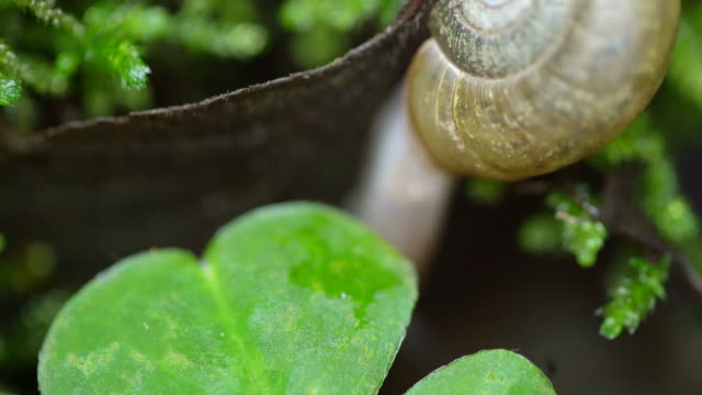 Snail moves on forest floor, close up