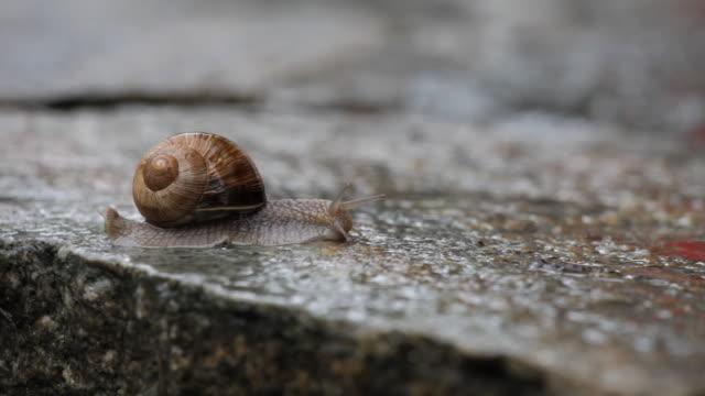 vídeos de stock, filmes e b-roll de slo mo cu snail moving across wet stone / zell am see, salzburg, austria - caracol