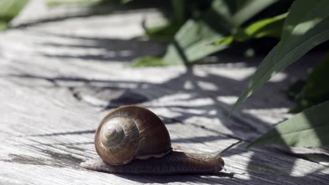 stockvideo's en b-roll-footage met t/l cu snail moving across wooden surface / zell am see, salzburg, austria - de volgende stap