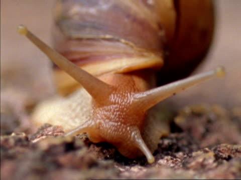 vídeos de stock, filmes e b-roll de bcu snail moving to camera, retracts feelers, seychelles - gastrópode