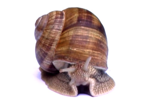 snail ntsc - zoology stock videos & royalty-free footage