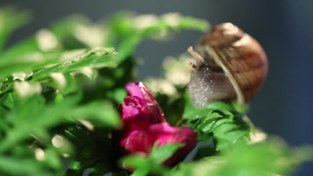 snail on a leaf in studio city - mollusk stock videos & royalty-free footage