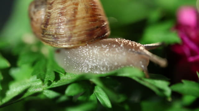 snail on a leaf in studio city - studio city stock videos & royalty-free footage