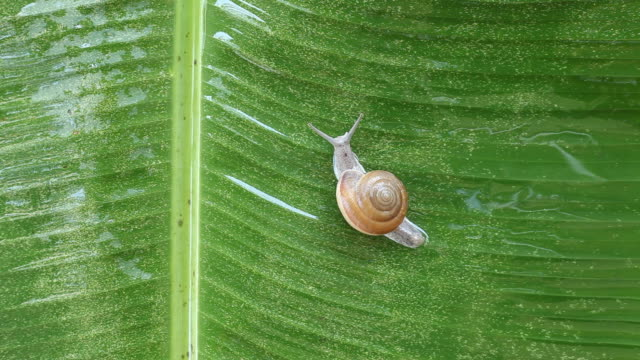 snail on banana leaf - snail stock videos & royalty-free footage
