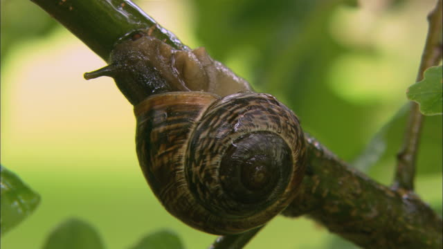 cu snail on branch / visby, nã¤r, ljugarn, gotland, sweden - branch stock videos & royalty-free footage
