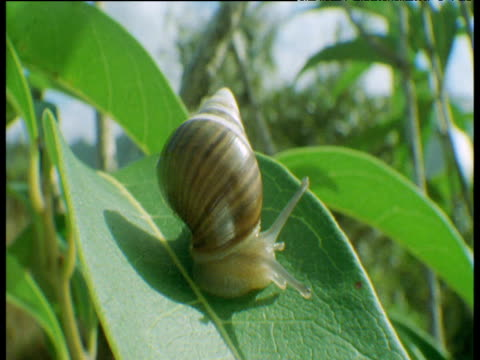 snail on leaf, hawaii - mollusk stock videos & royalty-free footage