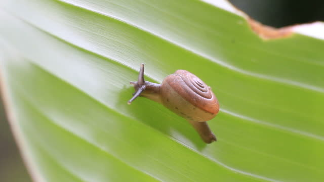 snail on  leaf - mollusk stock videos & royalty-free footage