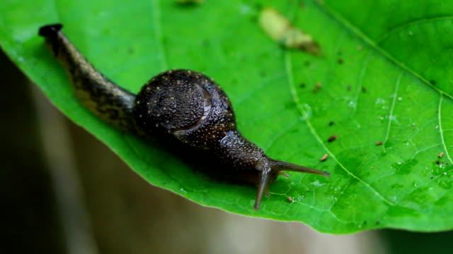 vídeos de stock, filmes e b-roll de caracol em folha - gastrópode
