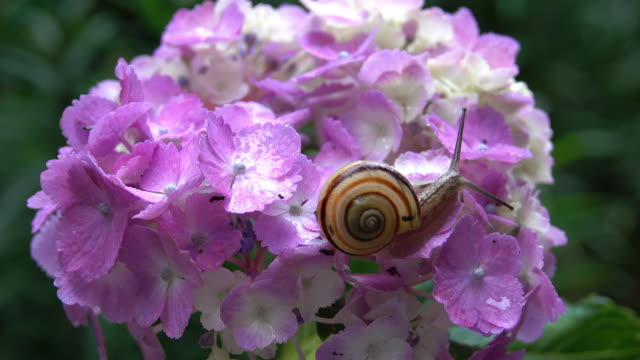 vídeos de stock e filmes b-roll de snail on the hydrangea flower - hermafrodita