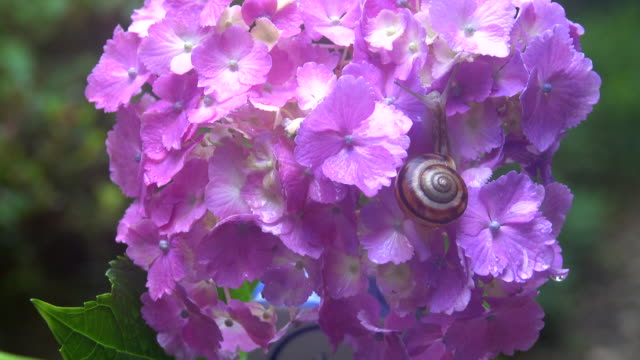 snail on the hydrangea - plusphoto stock videos & royalty-free footage