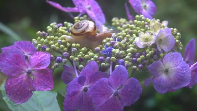stockvideo's en b-roll-footage met slak bij de hortensia - voelspriet