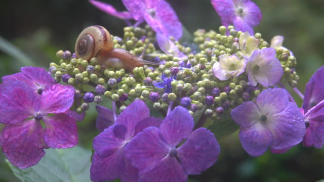 snail on the hydrangea - snail stock videos & royalty-free footage