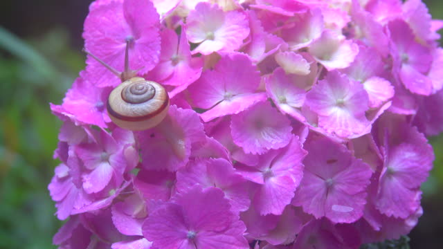 snail on the hydrangea - mollusco video stock e b–roll