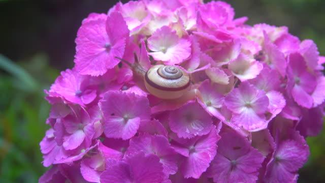 snigel på hortensia - plusphoto bildbanksvideor och videomaterial från bakom kulisserna