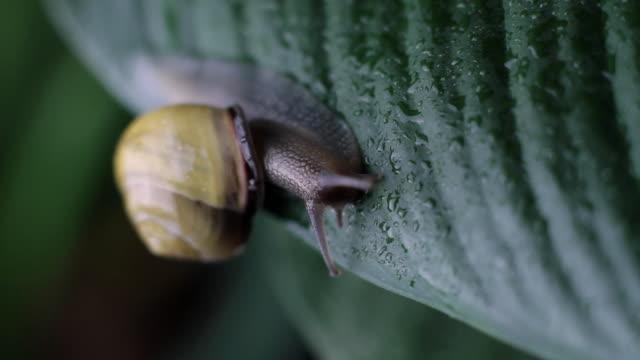 stockvideo's en b-roll-footage met slo mo ms snail on wet leaf - de volgende stap