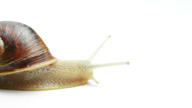 snail on white background - snail stock videos & royalty-free footage