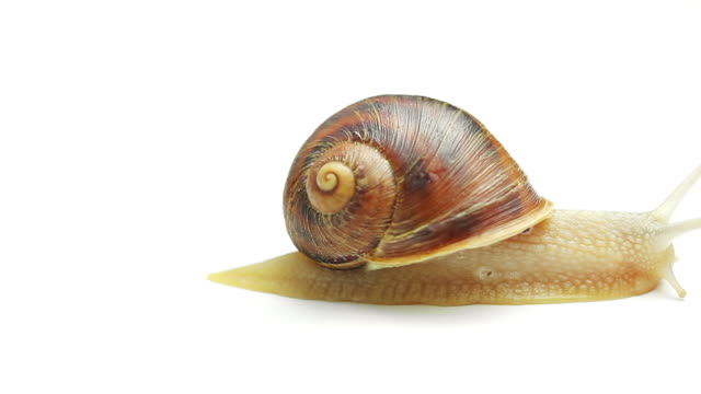 snail on white background - animal shell stock videos & royalty-free footage