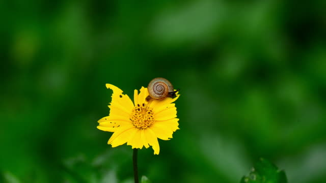 snail on yellow flower - mollusk stock videos & royalty-free footage