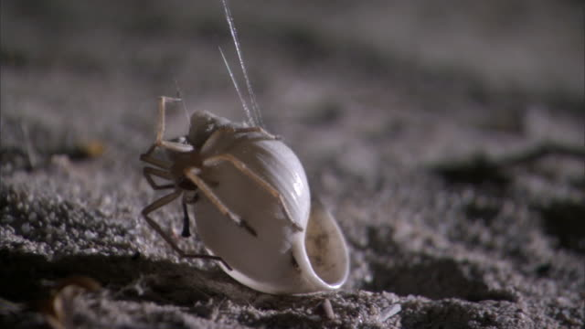 Snail shell spider (Olios coenobita) hauls snail shell shelter up into bush at night, Madagascar