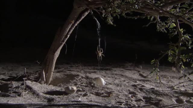 Snail shell spider (Olios coenobita) hauls snail shell shelter up into bush at night, Madagascar