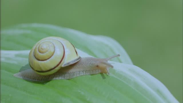 A snail slithers across a leaf.