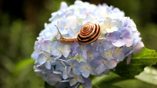 vídeos y material grabado en eventos de stock de caracol - hortensia