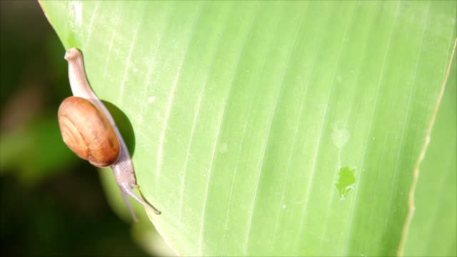 Snail walking on banana leaf and The wind blows.