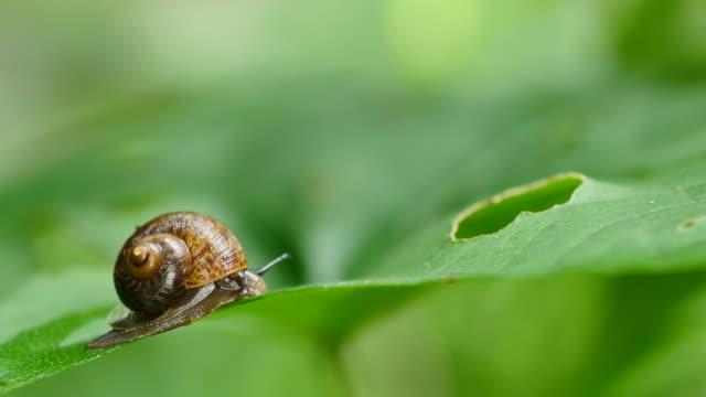 カタツムリは、熱帯雨林の緑の葉の上を歩きます。