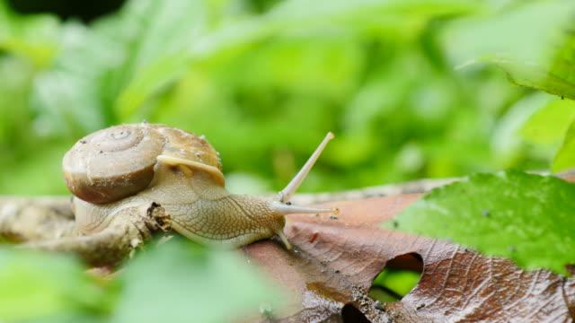Snail walking on leaf in rainforest.