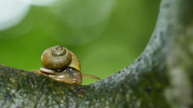 snail walking on tree in rainforest. - chiocciola gasteropode video stock e b–roll