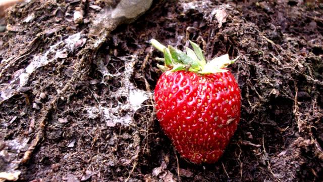 vídeos de stock, filmes e b-roll de cu t/l snails crawling by strawberry - gastrópode